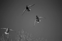 Black & white picture of flying duck