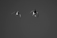 Black & White Picture of Cupped Wings D1318-019bw