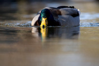 Swimming Duck D1166-003