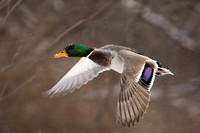 Pictures of Waterfowl in Flight