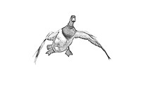 Waterfowl Images in Charcoal